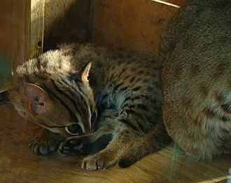 A kitten of rusty-spotted cat at the Parc des Felins, France Prionailurus rubiginosus 9-Parc des felins.JPG