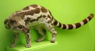 Banded linsang species of mammal