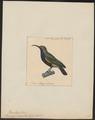 Promerops zenobia - 1825-1839 - Print - Iconographia Zoologica - Special Collections University of Amsterdam - UBA01 IZ19000335.tif