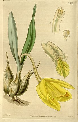 Prosthechea citrina (as Cattleya citrina)-Curtis 66-3742 (1840).jpg