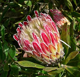 Protea obtusifolia, her i sorten 'Holiday Red'.