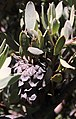 Protea pendula tonyrebelo inat10814904e.jpg