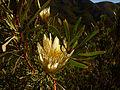 Protea repens (4).JPG
