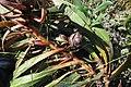 Protea tenax mr fab iNat10961290a.jpg