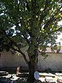 Protected tree in Grőber cemetery, Eger, 2016 Hungary.jpg