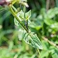 Prunella vulgaris in Aveyron (5).jpg