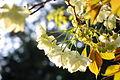 Prunus lannesiana 'Grandiflora'-Ukonzakura,ウコン桜8956.JPG