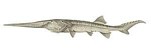 Paddlefish - Chinese paddlefish