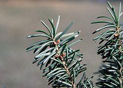Pseudotsuga menziesii glauca branch.jpg