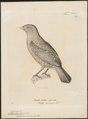 Ptilonorhynchus crassirostris - 1700-1880 - Print - Iconographia Zoologica - Special Collections University of Amsterdam - UBA01 IZ16400223.tif