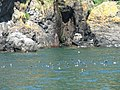Puffins off The Neck at Skomer Island - geograph.org.uk - 526907.jpg