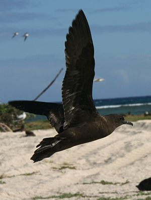 Christmas shearwater - Adult taking off, French Frigate Shoals