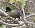 Purple-crested Turaco (Tauraco porphyreolophus) 2.jpg