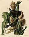 Purple Grackle or Common Crow Blackbird (Audubon).jpg