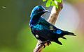 Purple Sunbird - Male (Cinnyris asiaticus).jpg