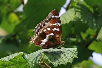 Apatura iris - Female