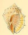 Purpura echinulata conchologia iconica LA Reeve Pl I.jpg