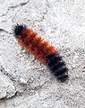 Pyrrharctia isabella - Caterpillar - Devonian Fossil Gorge - Iowa City - 2014-10-15 - image 5.jpg