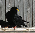 Pyrrhocorax graculus -Switzerland-8.jpg