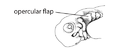 Q2. Hyoid flap (G03e).png
