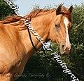 Quarter Horse (2662899644).jpg