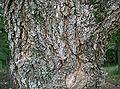 Quercus aliena1.jpg