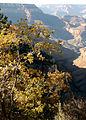 Quercus gambelii Grand Canyon 2.jpg