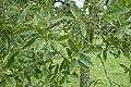 Quercus libani kz03.jpg