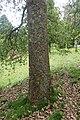 Quercus rugosa kz05.jpg