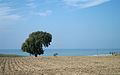 Quercus sp - Oak tree.jpg