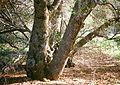 Quercus wislizeni trunks.jpg