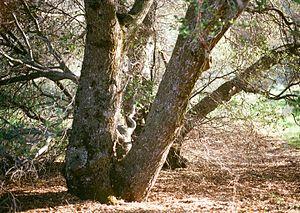 Quercus wislizeni - Typical growth habit