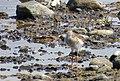 Rödbena Common Redshank (14982374412).jpg