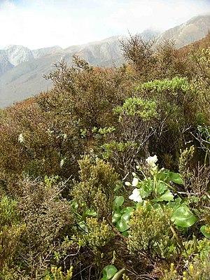 Arthur's Pass National Park - Ranunculus lyallii at Arthur's Pass