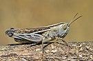 Ramburiella hispanica female.jpg