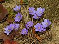 Ranuncolaceae - Anemone hepatica-2.JPG