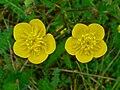 Ranunculus bulbosus 003.JPG