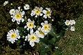 Ranunculus lyallii kz04.jpg