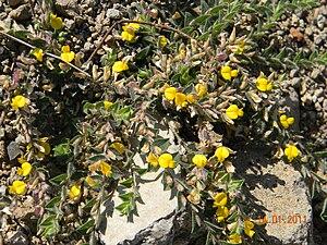 Crotalaria - Rattlepod