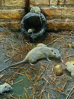 Rattus norvegicus 01