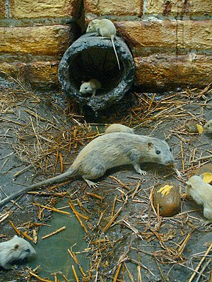 Field Guide Mammals Norway Rat Wikibooks Open Books For