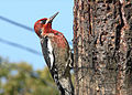 Red-Breasted Sapsucker.jpg