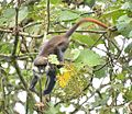 Red-Tailed Monkey, Uganda (15587657375).jpg