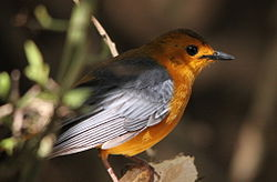Red-capped Robin-chat, Cossypha natalensis.jpg
