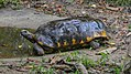 Red-eared slider turtle in the Paramaribo Zoo (31332914425).jpg