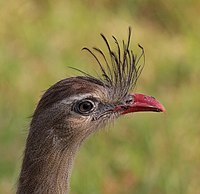 Red-legged seriema (Cariama cristata) head.JPG