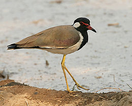 Red-wattled Lapwing (Vanellus indicus) at Hodal Iws IMG 1259.jpg
