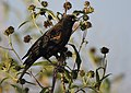 Red-winged Blackbird (37621291342).jpg