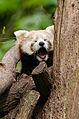 Red Panda (17172634419).jpg