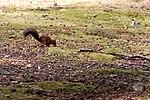 Red Squig - Brownsea Island (30206283142).jpg
